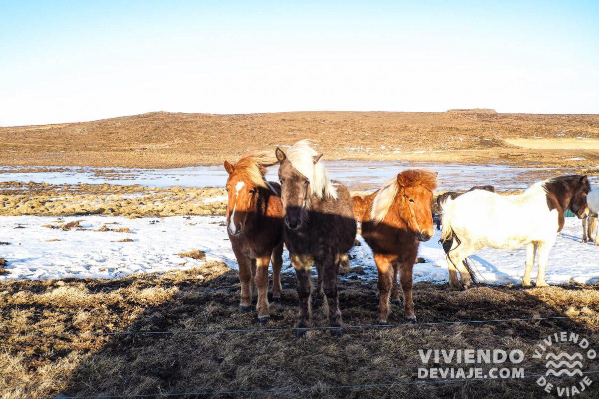 Curiosidades de los caballos de Islandia