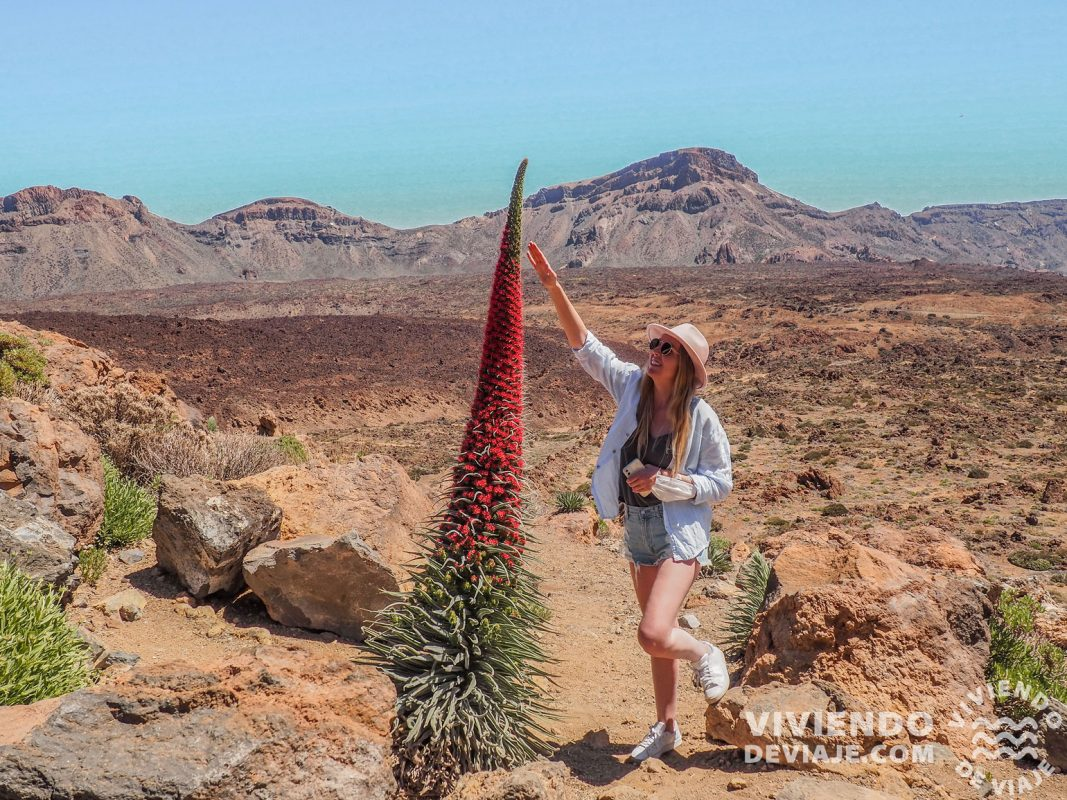 Tajinaste rojo en el Teide | Ruta por Tenerife en 7 días